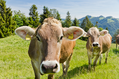 http://www.dreamstime.com/royalty-free-stock-photography-brown-swiss-cows-image22916307