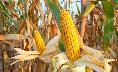 http://www.dreamstime.com/stock-images-corn-field-ripe-cob-ready-harvest-image33189154