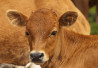 http://www.dreamstime.com/royalty-free-stock-photos-veal-portrait-looking-you-close-up-image32210018