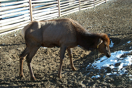Elk with CWD