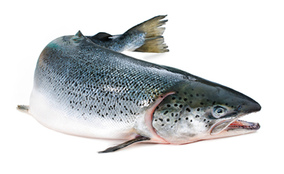 http://www.dreamstime.com/royalty-free-stock-images-atlantic-salmon-salmo-salar-white-background-image33670079