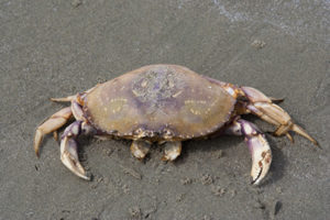 Dungeness crab on beach