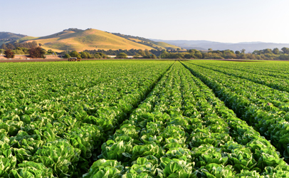 http://www.dreamstime.com/royalty-free-stock-photo-lettuce-field-salinas-valley-california-image30659265