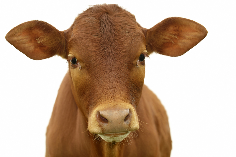 Young calf with white background