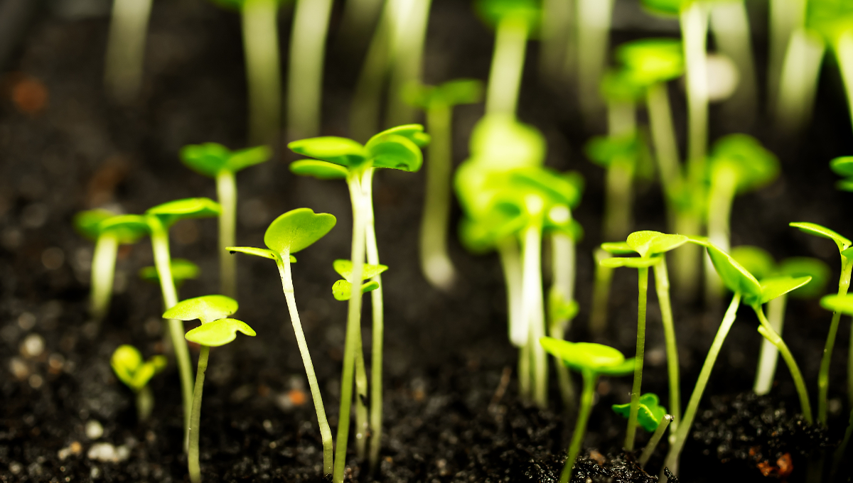 Sprouts growing out of the ground and reach for the light.
