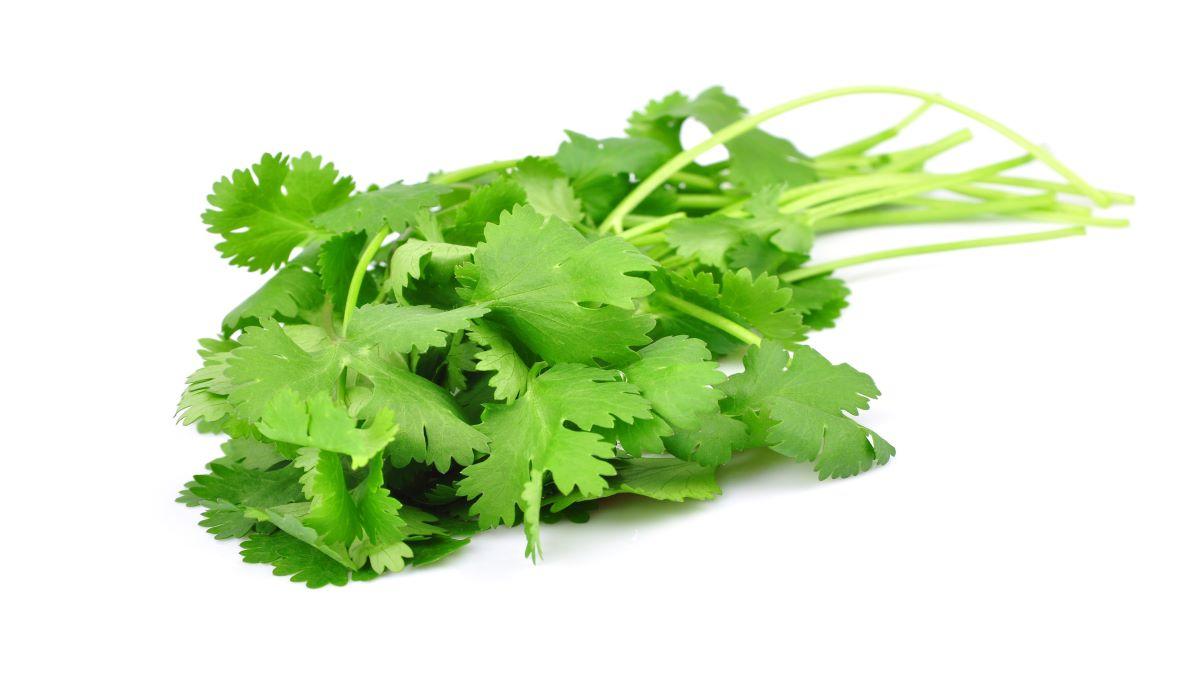 dreamstime_coriander herb fresh produce