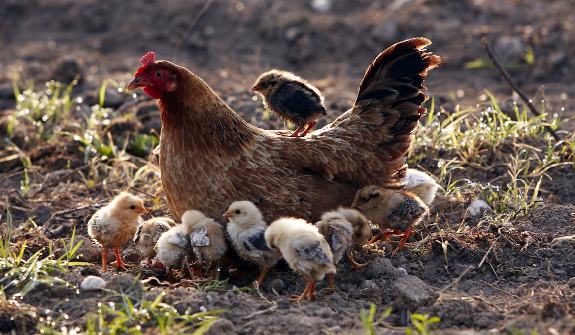 backyard flock chicks chicken